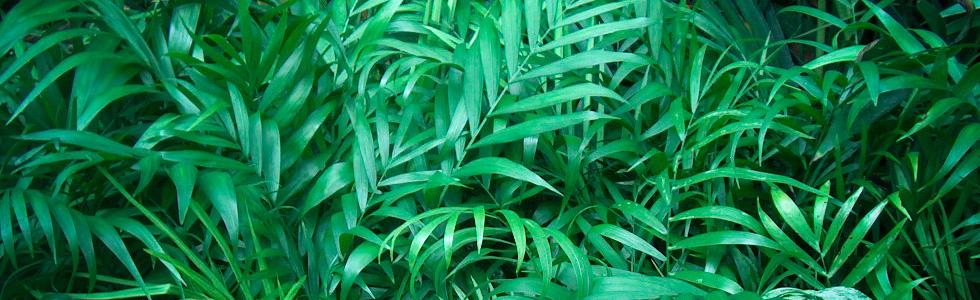 Хамедорея  Зейфрица или бамбуковая пальма (Chamaedorea sefritzii)  очищение воздуха