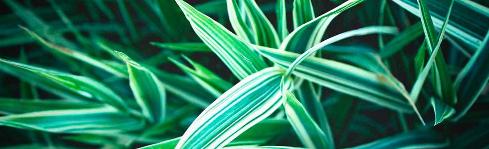 Хлорофитум хохлатый (Chlorophytum сomosum) очищение воздуха