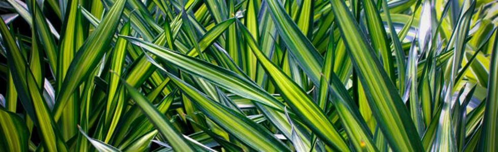 Драцена деремская (Dracaena deremensis Warneckii) очищение воздуха