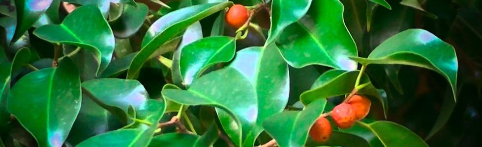 Фикус Бенджамина (Ficus Benjamina) очищение воздуха