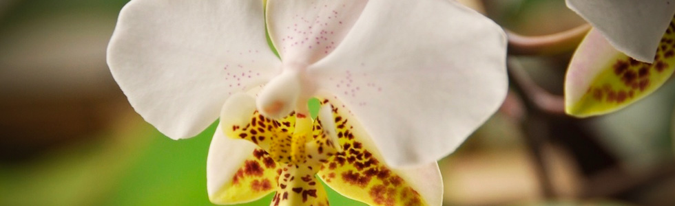 ОрхидеяФаленопсис очищение воздуха